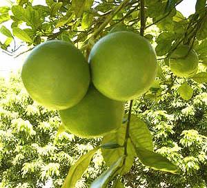 Pomelo sull'albero