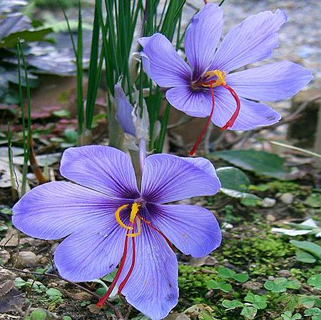 """fiore contenente gli stigma o, (stimma) per lo """"Zafferano"""""""