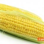 Pannocchie di mais fresco, giovane