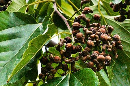 Frutti dell'albero dell'uva passita